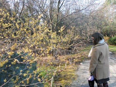 GJ caught me admiring a beautiful yellow witch hazel in bloom. We used to have an orange one, I just love them.