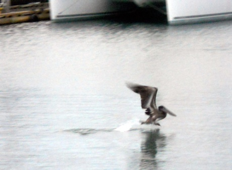 Rare brown pelican sighting in the Inner Harbour.