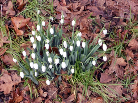 The lovely snowdrop, always our first sign of spring's approach.