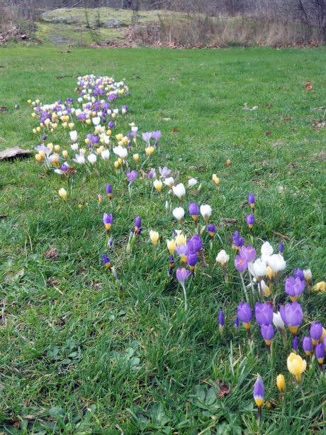 We found this little path of crocus last year in Beacon Hill Park. It's a bit bigger this year!
