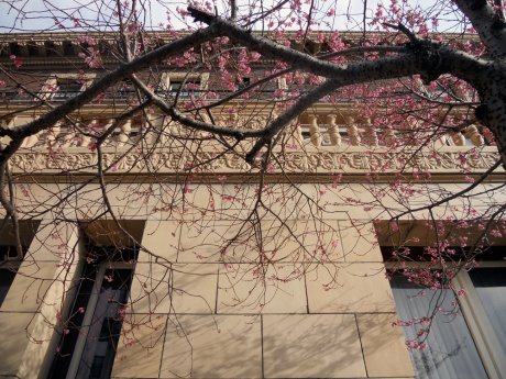Some early cherry blossoms  set off by the beautiful Union Club, downtown Victoria BC.