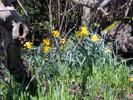 It's definitely the height of daffodil season; they are everywhere and abundant this year!