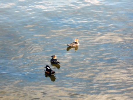 A trio of darling Hooded Mergansers.