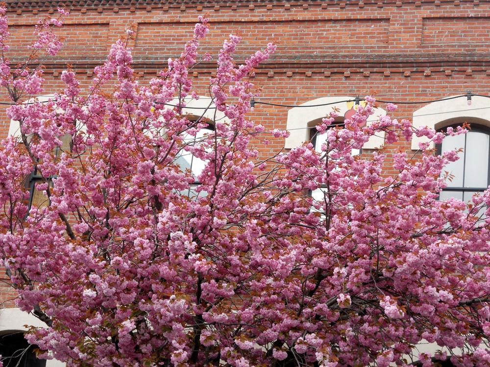 Big Fluffy Blossoms...