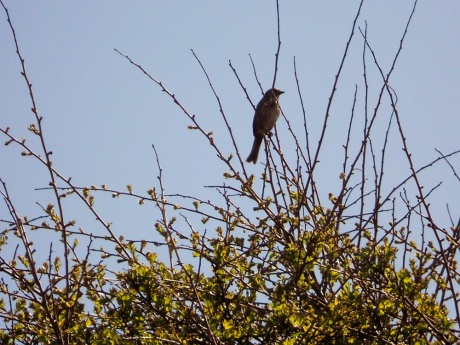 Just as the hummingbird left, this fellow arrived singing a jolly song.