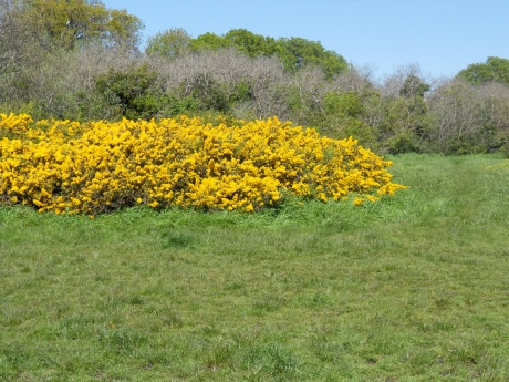 The gorse is in bloom all along the waterfront.