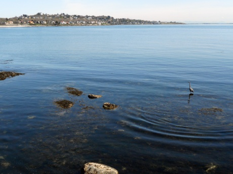 From Clover Point looking across Ross Bay at the homes on Hollywood Crescent, with Heron.