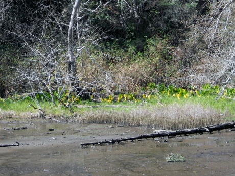 A large growth of skunk cabbage at the edge of the mud flats.