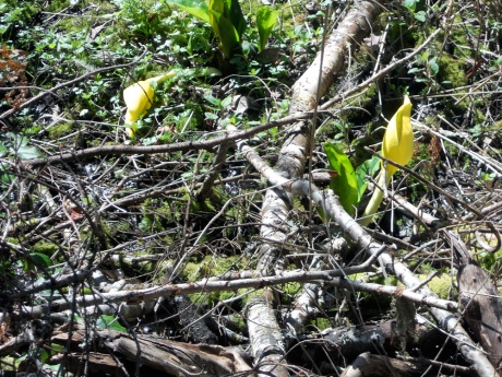 Skunk cabbage pushing its way through the winter debris.