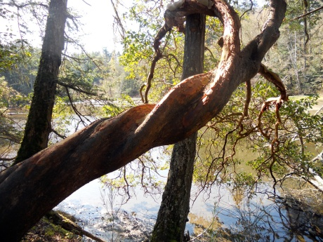 A twisty Arbutus tree.