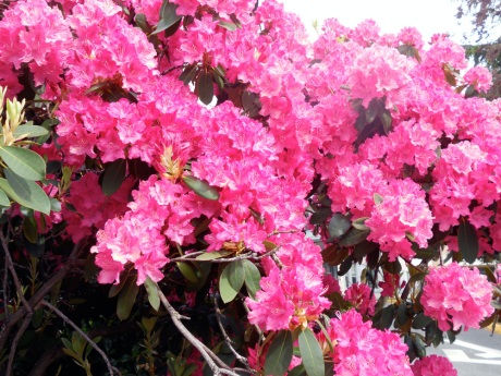 Found this glorious Rhododendron while running an errand. I thought their season had ended, but this one was still in its full splendor.