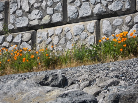 The first California poppies we've see this year.
