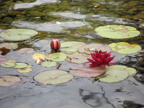 What a lovely walk we took for the first day of summer. This beautiful lily graces the fish pond at The Parkside on Humboldt Street, Victoria BC.