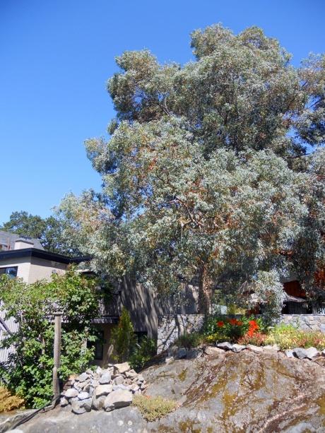 A magnificent eucalyptus tree.