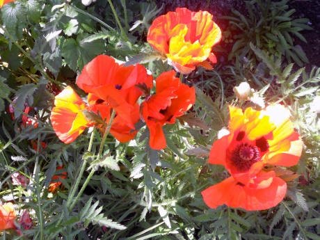 Sunlight makes these poppies glow.