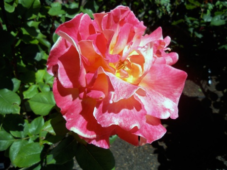 Obligatory perfect rose. This garden in Fairfield was full of them, so many varieties.