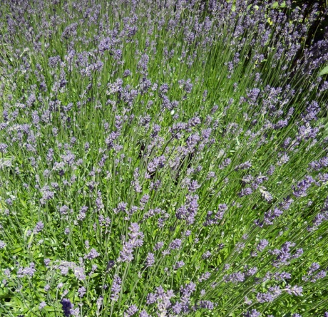 One garden in Oak Bay had an amazing bed of lavender, probably at least 12x5 feet.