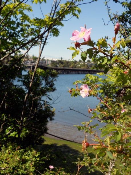 Looking through the wild roses to the Selkirk Trestle.