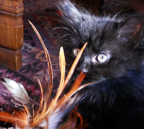 Baby Zelda, nine weeks old, with Carlos' favourite feather toy.
