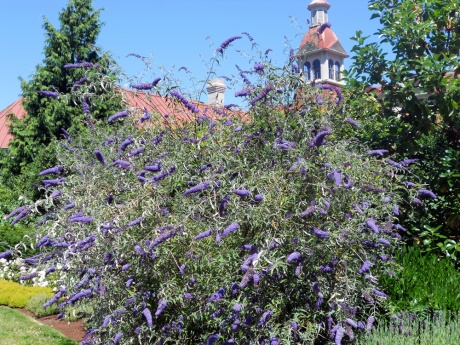 The sweet smell of Buddleia flower; several large bushes behind St. Ann's Academy.