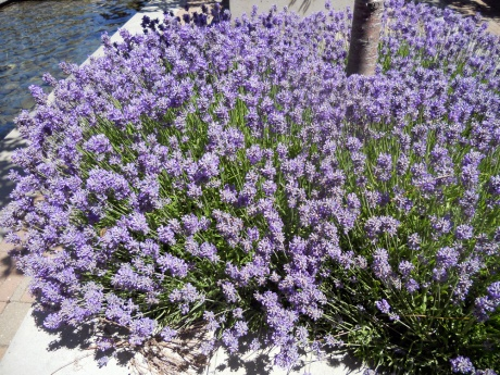 Lavender everywhere right now. This grouping in the planter boxes by the fish pond at The Parkside on Humboldt.