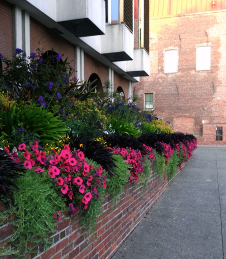 The evening air accentuates the delicious fragrance if this flower bed at City Hall.