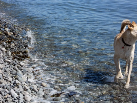 Duece is an awesome yellow dog who lives with her human, our friend Feather George, in Tofino BC. She was loving the water after a day of walking all around the city.