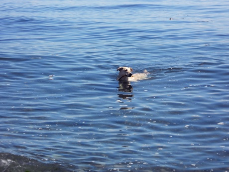 Duece swimming back with her piece of kelp.