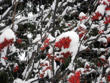 Beautiful Rowan berries covered in snow.