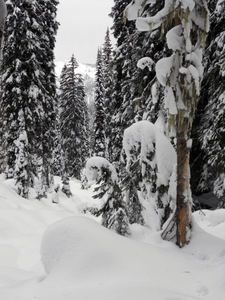 The heavy snow turned the smaller trees into giant fiddlehead shapes.