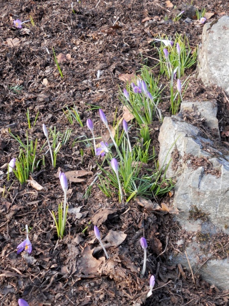 Small purple crocuses blooming in spite of the cold.