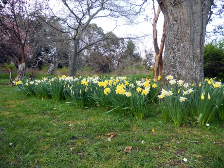 The daffodils are in full glory at Beacon Hill Park.