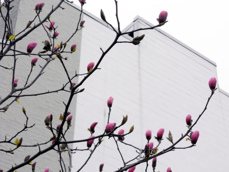 Big juicy magnolia blossoms on Fort Street