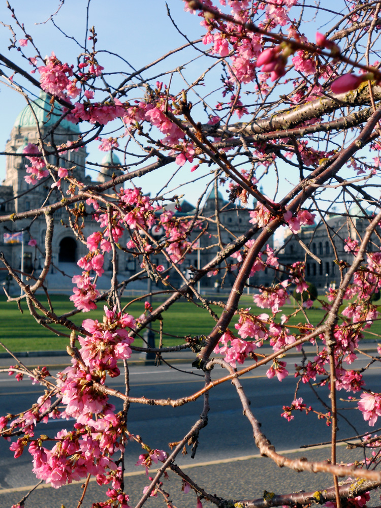 Beautiful pink blossoms with the Legislative buildings behind. Victoria is the provincial capital of British Columbia, Canada.