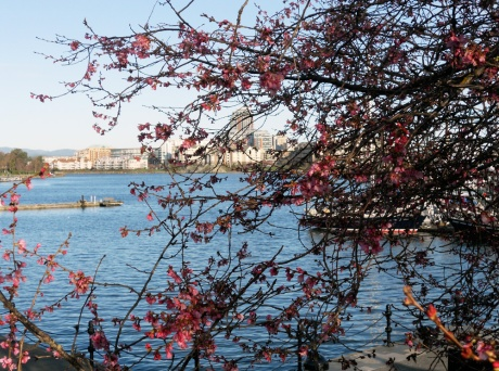 Beyond the blossoms: Inner Harbour, Victoria BC.