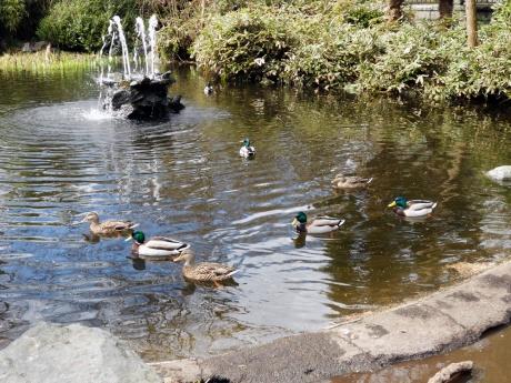 Ducks and fountain along a pathway through the gardens.