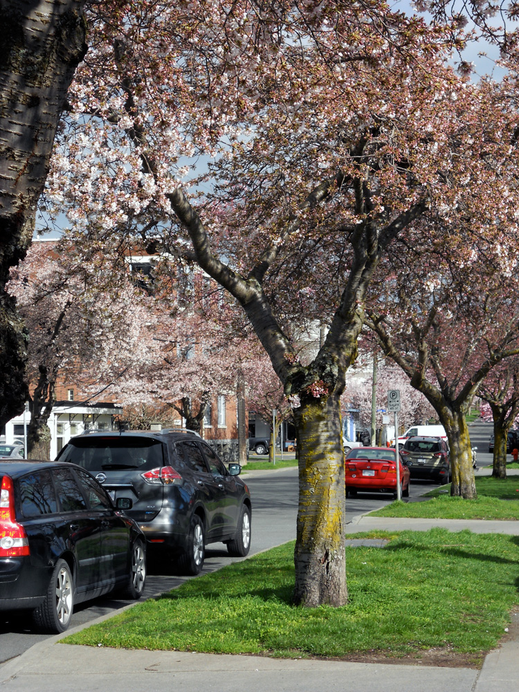 Cherry blossoms on Meares Street.