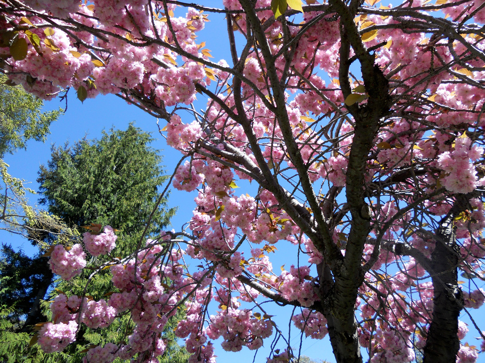 Big fluffy pink blossoms near the Art Gallery of Greater Victoria.