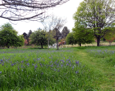 Camas and bluebells.