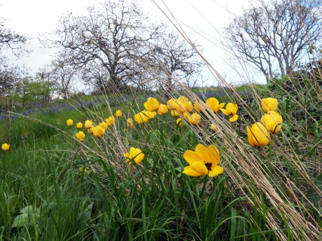 A lovely group of yellow tulips growing in the long grass of a Garry oak meadow at Beacon Hill Park.