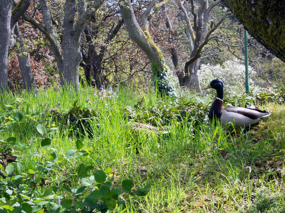 Mallard duck couple foraging at Beacon Hill Park (she has her head down, just in front of the male).