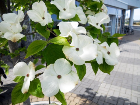 Beautiful dogwood blossoms just outside Fol Epi Bakery in Vic West.