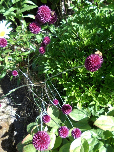 So many gardens have alliums right now, especially these bright beauties.
