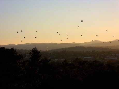 This is the nightly sunset fly-past of crows traveling from their daytime haunts to their nighttime roost.