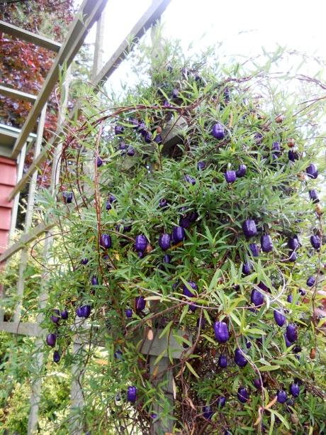 This plant, Billardiera, was so spectacular.