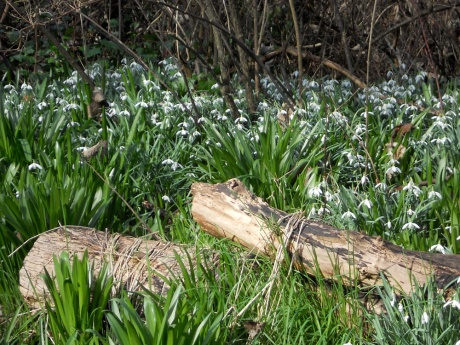 Lots of snowdrops and the green beginnings of many other spring flowers.