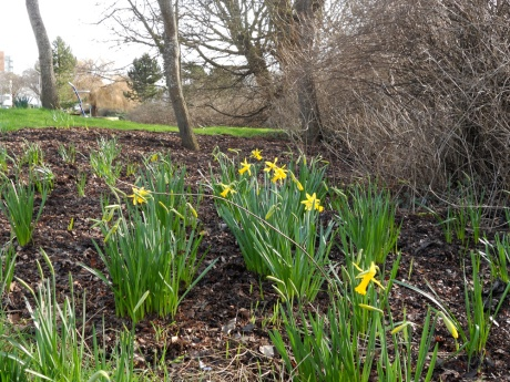 These daffodils are early. Another week of this weather and they will be in full force.