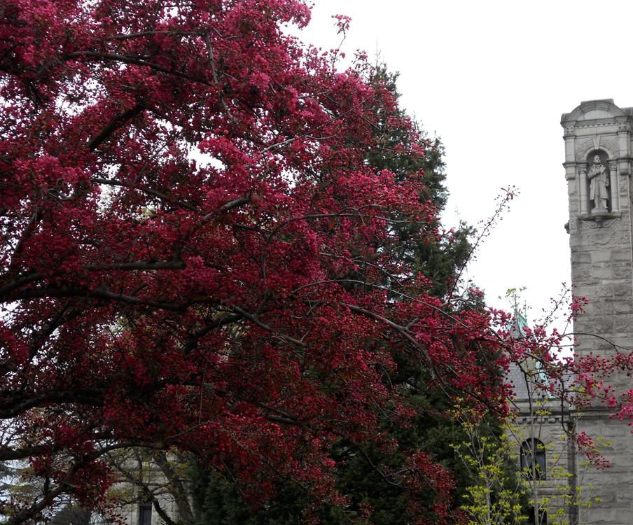 Dark pink, behind the Legislative Assembly buildings, Victoria BC.