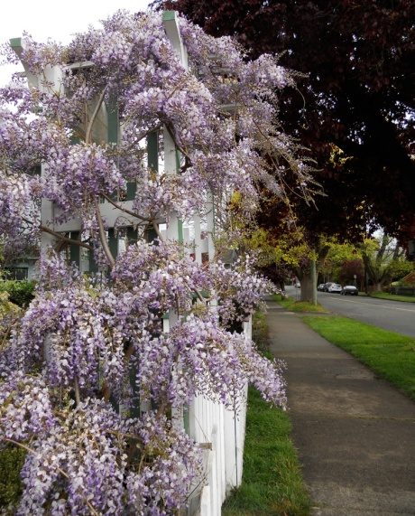A luscious wisteria on Government Street.