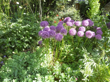 Lovely alliums at Playfair Park.